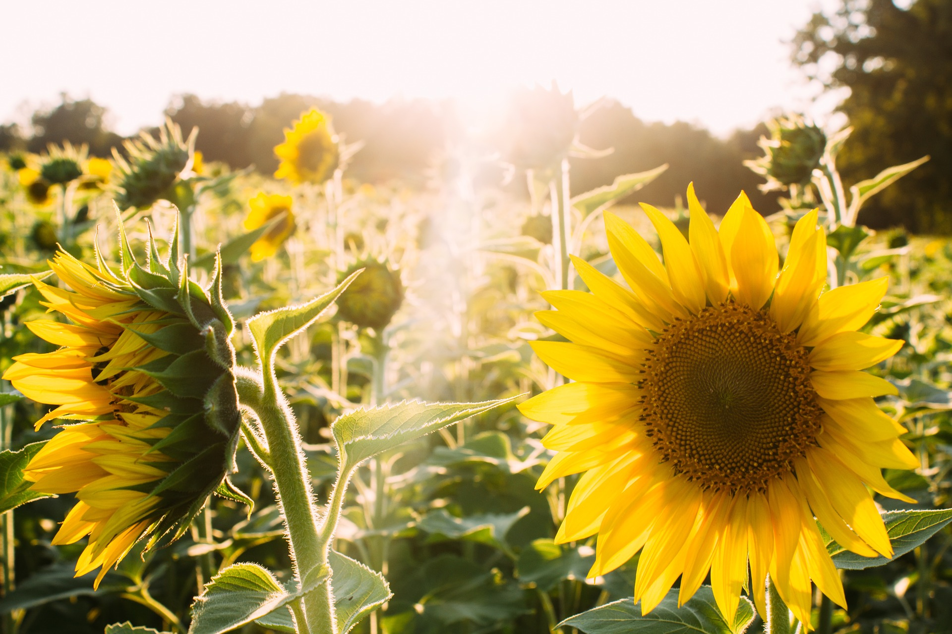 sunflowers-945407_1920